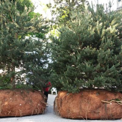 Mougenots wandernde Bäume auf der Biennale 2015