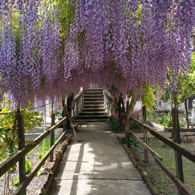 blühende Glyzinien im Garten der Domenikanerinnen in Cannaregio