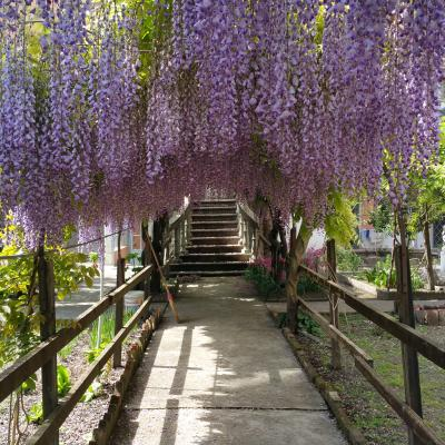 Blooming wisteria in a garden
